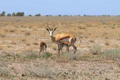 Famille de springboks Images stock