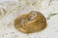 Famille de suricata de Suricate photos libres de droits