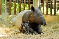 Famille de tapir Images libres de droits