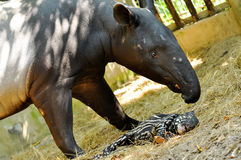 Famille de tapir Photo stock