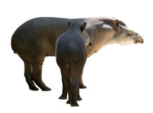 Famille de tapir D'isolement Images stock