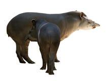 Famille de tapir D'isolement au-dessus du blanc photographie stock libre de droits