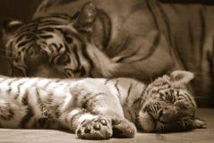 Famille de tigre image stock