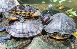 Famille de tortue Photographie stock libre de droits