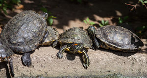 Famille de tortue Photo libre de droits