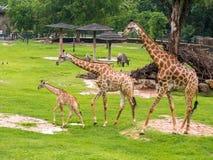 Famille de trois girafes à l'arrière-plan d'herbe verte de zoo avec des amis en Thaïlande Images stock