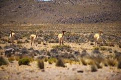 Famille de vigogne Image libre de droits