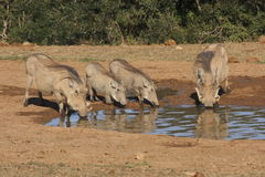 Famille de Warthog à un waterhole Photo stock