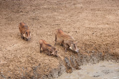 Famille de Warthog Image stock