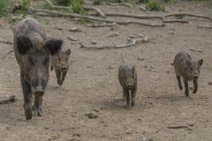 Famille de Wildhog Image libre de droits