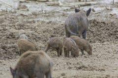 Famille de Wildhog Photo libre de droits