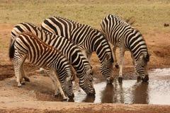 Famille de zèbre. Image libre de droits