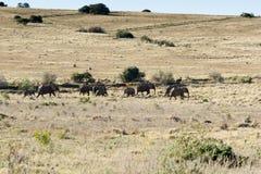 Famille des éléphants africains marchant à l'abreuvoir photos libres de droits