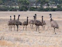 Famille des émeus dans l'Australie Images stock