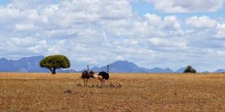 Famille des autruches en Afrique photo stock