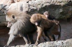 Famille des babouins Photographie stock