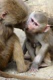 Famille des babouins de Hamadryas dans le jardin zoologique Photos libres de droits