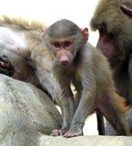Famille des babouins de Hamadryas dans le jardin zoologique Images stock