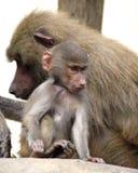 Famille des babouins de Hamadryas dans le jardin zoologique Photo stock
