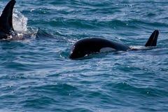 Famille des baleines sauvages d'orque Image libre de droits