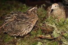 Famille des cailles dans la forêt image libre de droits
