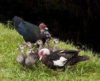 Famille des canards Image libre de droits