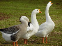 Famille des canards Photographie stock