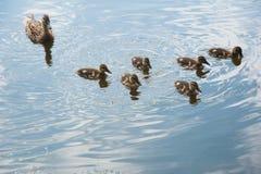 Famille des canards dans l'eau Photo libre de droits