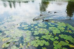Famille des canards dans l'eau Images libres de droits