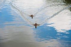 Famille des canards dans l'eau Photos stock