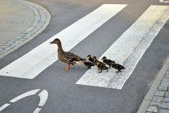 Famille des canards marchant une ligne droite dans l'avant Photos stock