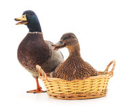 Famille des canards sauvages Photographie stock