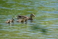 Famille des canards sauvages flottant sur le lac Photo libre de droits