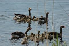 Famille des canards sur le lac Photographie stock libre de droits