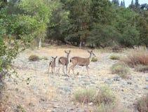 Famille des cerfs communs Photographie stock libre de droits