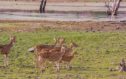 Famille des cerfs communs repérés Images stock
