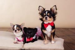 Famille des chiens de chiwawa sur des oreillers dans le studio Photographie stock