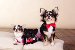 Famille des chiens de chiwawa sur des oreillers dans le studio Photographie stock libre de droits