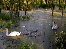famille des cygnes Photo libre de droits