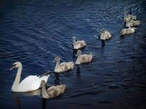 Famille des cygnes 2 Image libre de droits