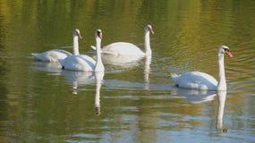 Famille des cygnes Photo stock