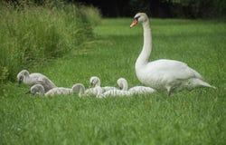 Famille des cygnes image libre de droits