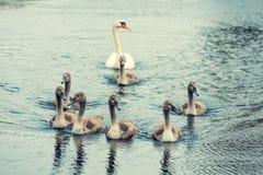 Famille des cygnes Images libres de droits