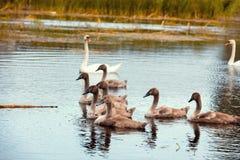 Famille des cygnes Photographie stock libre de droits