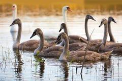 Famille des cygnes Photographie stock