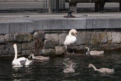 Famille des cygnes avec quatre jeunes sceaux dans un vieux dock un jour d'été photo stock
