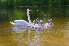 Famille des cygnes blancs Images stock