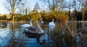 Famille des cygnes dans un lac en hiver Photo libre de droits
