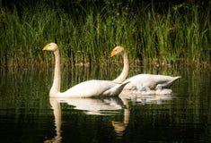 Famille des cygnes de whooper Photographie stock