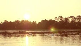 Famille des cygnes flottant sur le lever de soleil de matin banque de vidéos